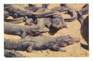 Alligators enjoying the warmth of the sunshine on a remote shore of Florida, ...