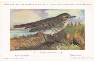 Anthus Spinoletta Water Pipit Bird Antique Rare Postcard