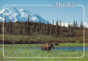 Bull Moose And Denali In Denali National Park Alaska