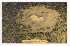 Showing A Goose Nest, 1930-1940s