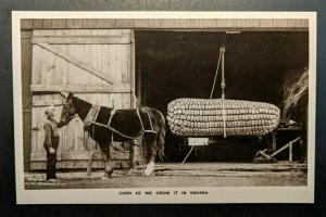 Mint Vintage Corn As We Grow It In Indiana Giant Corn Real Photo Postcard RPPC
