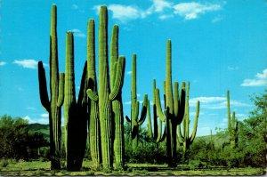 Arizona Family Group Saguaro Cactus