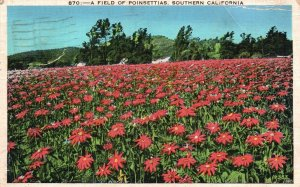 A Field of Poinsettias, Southern California, CA, 1936 Vintage Postcard h331