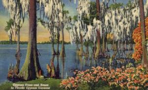 Cypress Trees Cypress Gardens FL Unused