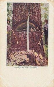 WASHINGTON, 1901-07 ; Big Fir Tree