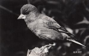 Greenfinch Valentines Real Photo Old Bird Postcard