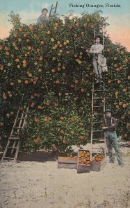 FLORIDA, PU-1913; Picking Oranges