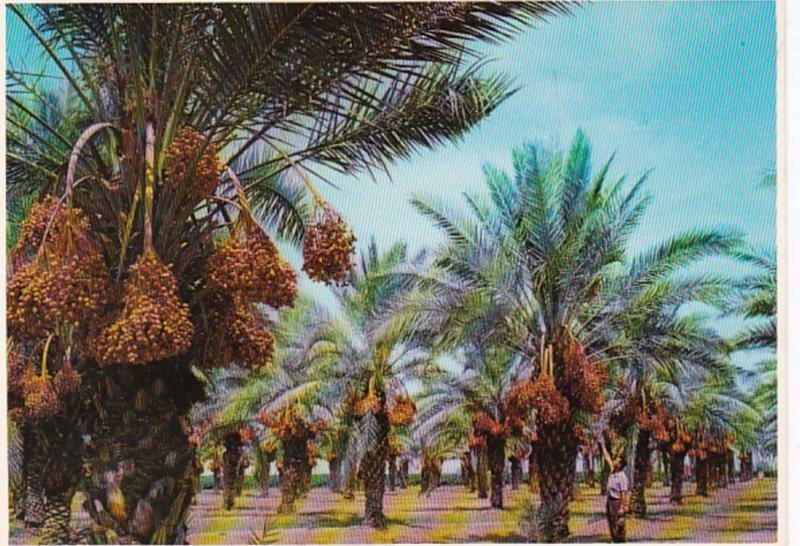 Arizona Date Palms Ready For Harvest
