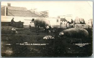 Alberta Canada Exajerado Pigs 1910 Antigüedad Real Foto Tarjeta Postal RPPC
