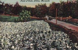 BERMUDA, 1900-1910s; Field Of Calla Lillies