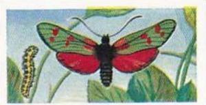 Swettenhams Tea Vintage Trade Card Butterflies & Moths 1958 No 4 Six-Spot Burnet
