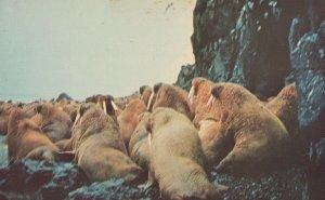 Walrus Island Alaska Rare 1960s Postcard