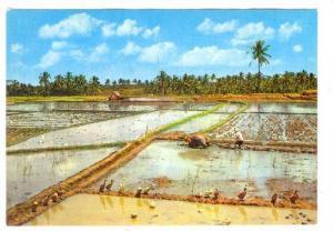 Sawah mendjelang penanaman, Indonesia, 50-70s