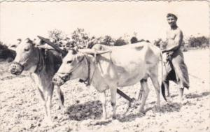 Pakistan Ploughman With Ox Of Kala Haji Chittagong East Pakistan Real Photo