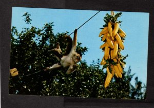 FL Tiki Gardens Indian Rocks Beach Florida Postcard Chimp Monkeys Animals