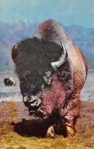 Buffalo Buffalo Unused