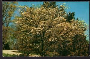 Flowering Dogwood,Brown County,IN BIN