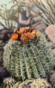 Cactus Barrel Cactus In Bloom Curteich