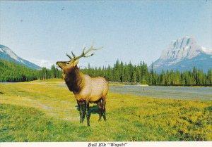 Canada Bull Elk Wapiti