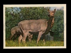 135997 ZOO Nilgai antelope Old Russian Color PHOTO PC
