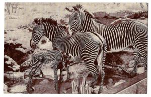 American Museum Natural History Grevy Zebra Postcard