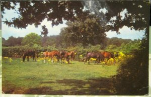 England New Forest Ponies - posted 1975