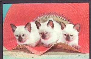 Hatful of Siamese Kittens Post Card PC2374