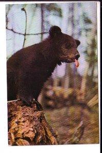 Bear Cub, P'Tooey, Canadian Rockies, Used Alberta 1971