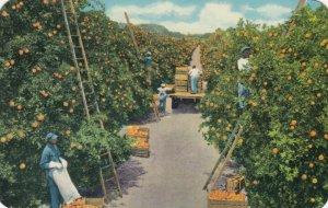 Orange Picking Time in Tropical FLORIDA, 1950s
