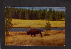 WY Bison Buffalo Nez Perce Creek Yellowstone National Park Postcard Postage Due