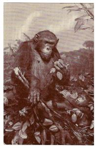 American Museum Natural History African Chimpanzee Postcard