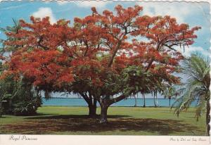 Florida Fort Myers Royal Poinicana Flaming Color On The Banks Of The Caloosah...