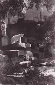 RP, Polar Bear, The Chicago Zoological Park, Brookfield, Illinois, 1920-1940s