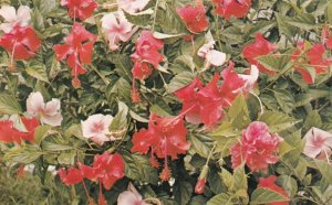 FIJI , 50-60s ; Hibiscus Flowers