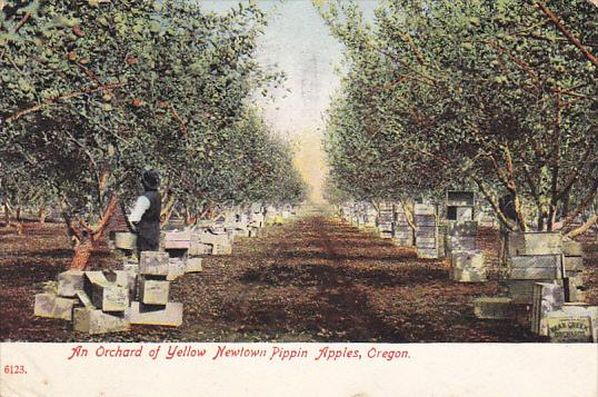 An Orchard Of Yellow Newtown Pippin Apples Oregon 1909