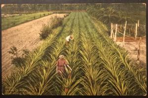 Postcard Unused Pineapple Plantation Havana Cuba No 39 LB
