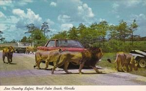 Florida West Palm Beach Lions Roaming Free At Lion Country Safari