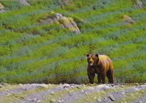Canada Grizzly Bear