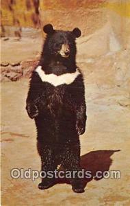 Bears, Vintage Collectable Postcards San Diego, CA, USA Himalayan Black Bear