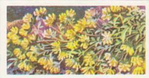 Brooke Bond Tea Trade Card Wild Flowers No 19 Kidney Vetch