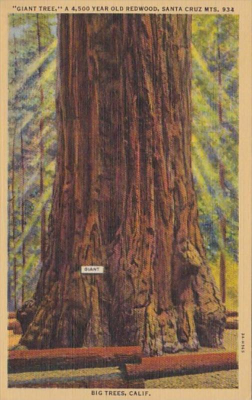 California Santa Cruz Giant Tree 4500 Years Old Redwood