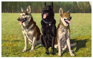 Dog  , Alsatians