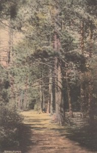 CHOCORUA, New Hampshire, 1900-10s; Pine Groves