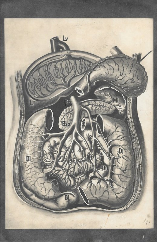 Scarce German 1940s Illustrated Postcard of a, Dissected Torso, Human Body