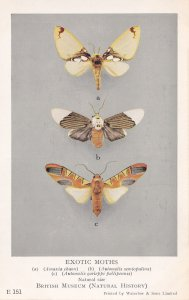 Amaxia Chaon Moth Erebidae Automolis Exotic Moths Postcard