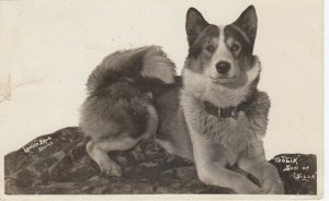 RP , NOME , Alaska , 1912 ; Huskie Dog Oolik son of Silla , Lomen Bros