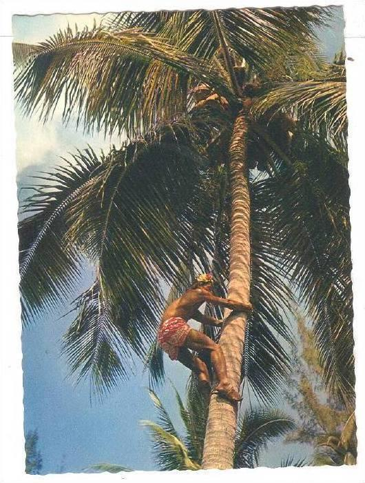 Picking fresh Coconuts , Tahiti , 50-70s