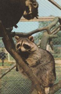 Racoons at Somerset Cricket St Thomas Wildlife Park 1970s Postcard