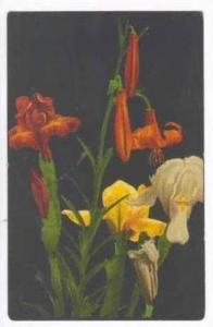 Irsis flowers in bloom, PU 1908