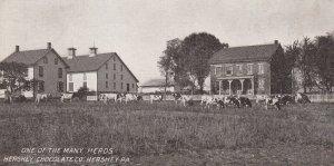 HERSHEY, Pennsylvania, PU-1911; One Of The Many Herds, Hershey Chocolate Co.